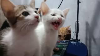 Download Mp3 Kucing Meong Meong Marah Minta Makan