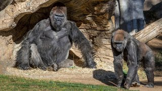 video: Two gorillas test positive for Covid at San Diego Zoo