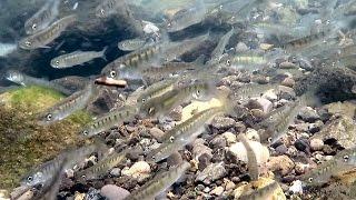 北海道の世界自然遺産・知床が遅い春を迎え、サケの稚魚の群れが海への...