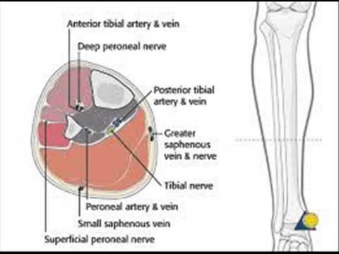 all peroneal vein - YouTube