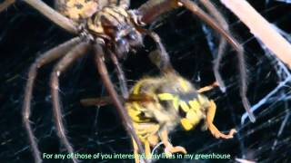 Insy the House spider