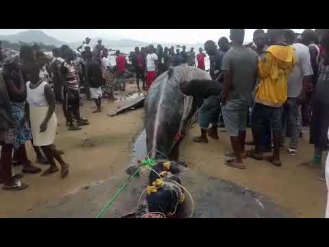 WHALE CAUGHT BY FISHERMEN IN SIERRA LEONE @ Baw Baw Beach (In Clip).