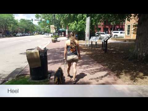 Best dog training in Colorado! 2-Year-Old Basset Hound Tyrion Before and After Video!