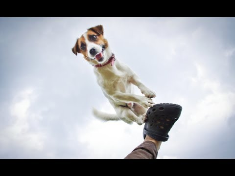Jerry  - the Jack Russell Terrier - 2 years