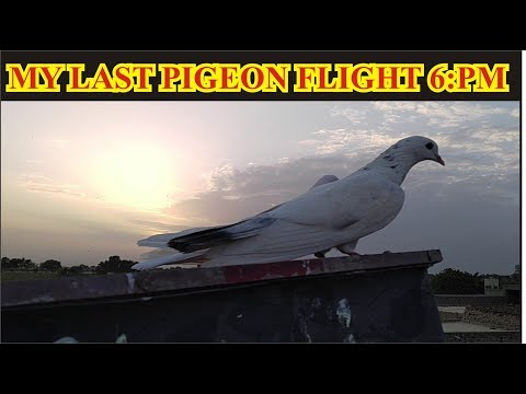 LAST PIGEONS FLIGHT 6:10 PM THUMBS UP IF YOU LIKE