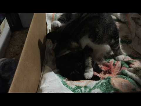 cat (Crinkle) giving birth
