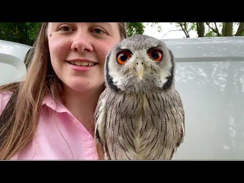Meet Kojo (White Faced Owl)