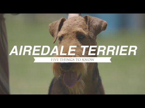 AIREDALE TERRIER: FIVE THINGS YOU SHOULD KNOW