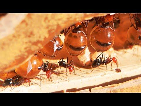 5 Самых невероятных муравьёв