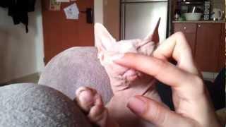 Sphynx cat loving