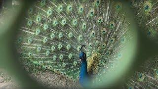 Лучшее подворье в селе Варваровка! Мини-ботанический сад, павлины, фазаны, голуби.