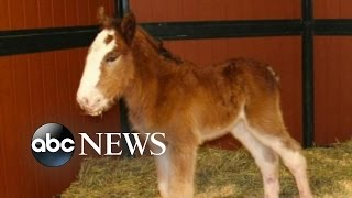 Super Bowl Budweiser Commercials | Baby Clydesdale May Appear in 2016 Commercial
