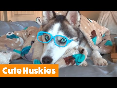 Cutest Silly Huskies | Funny Pet Videos