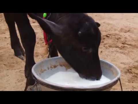 Buffalo Farm In Punjab - YT