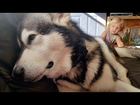 Embarrassed Malamute Won't Look At Me!!! Funny Dog Video