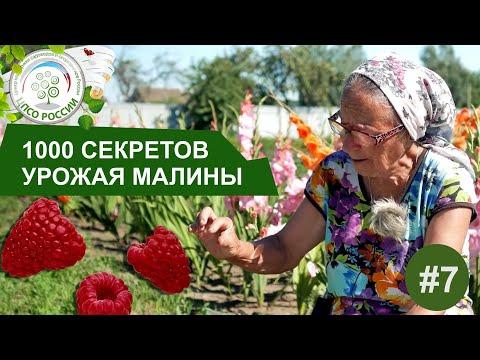 Почему малина цветет и не плодоносит. 1000 Секретов получить хороший урожай малины. | выращивание | плодоносит | созревать | вырастить | успевает | малиной | россии | огород | малина | малин