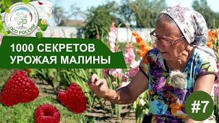 Почему малина цветет и не плодоносит. 1000 Секретов получить хороший урожай малины.