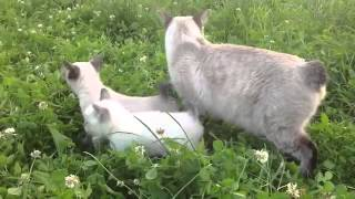 Меконгский бобтейл: котята гуляют! Mekong bobtail kittens!