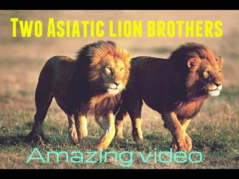 Two Asiatic lion brothers roaming in devaliya forest in gir wildlife sanctuary INDIA