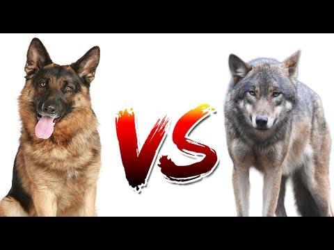 Немецкая овчарка VS Волк | ANIMALS VERSUS | САМАЯ ЖЁСТКАЯ БИТВА?