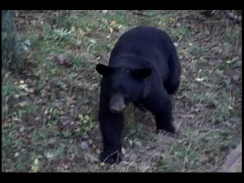 Clarion County Black Bear