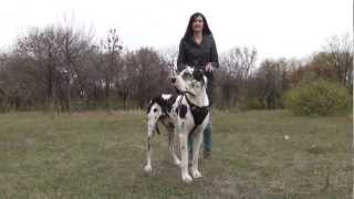 Great Dane Dog Training With Harness