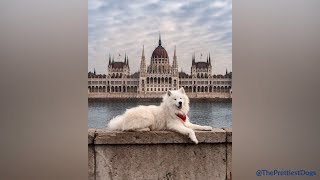 Samoyeds being the cutest and funniest dogs for 5 minutes straight