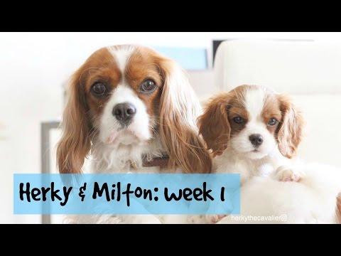 Herky & Milton: Week 1   Cavalier King Charles Spaniel Puppy