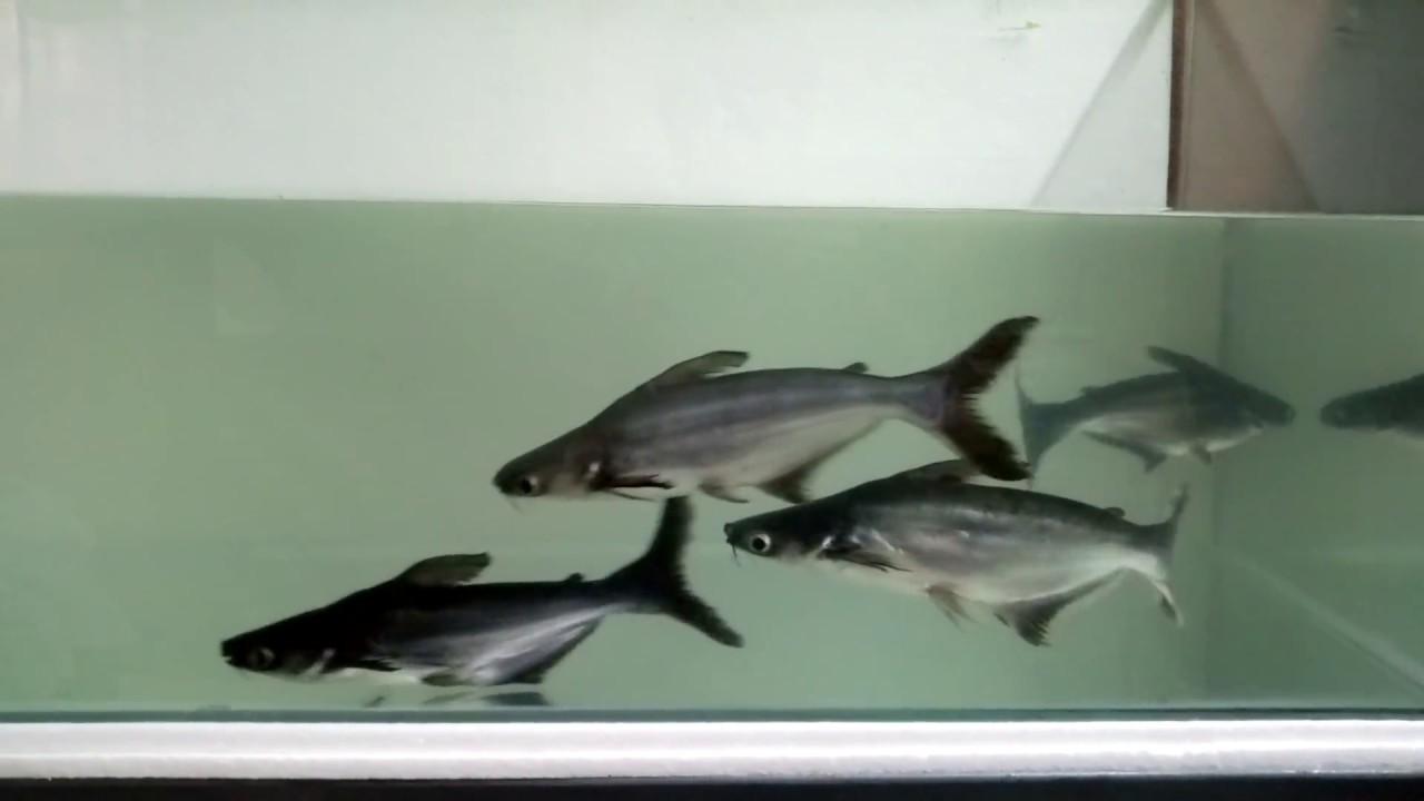 Indian Shark Fish Tank Youtube