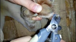 Псы: как подстричь когти собаке