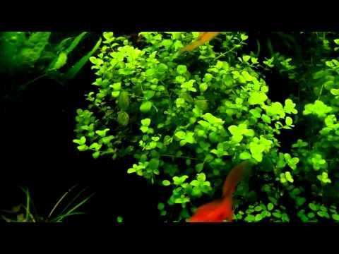 Micranthemum umbrosum - aquatic plants guide