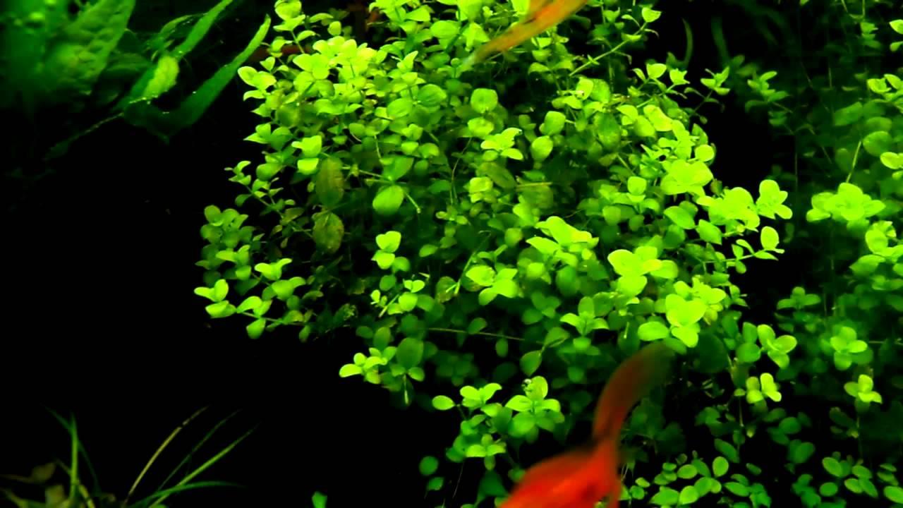 comment planter micranthemum umbrosum