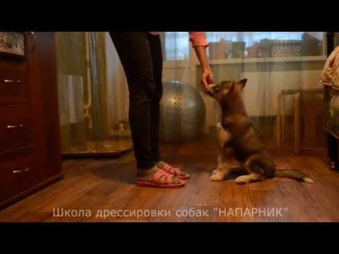 Дрессировка щенка хаски. 1 занятие