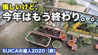 SUICAの達人2020【プランターでスイカが作れる!家庭菜園】(終)梅雨の長雨で、今年はもう終わった。  7/ 15