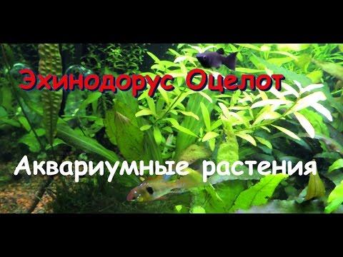 Эхинодорус Оцелот (Echinodorus ozelot)