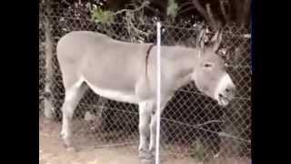 Download Video Suara Keledai, Suara Paling Buruk Di Dunia MP3 3GP MP4