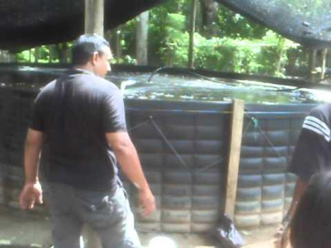Alevinos cachama tilapia bocachico youtube for Como cultivar tilapia en estanques