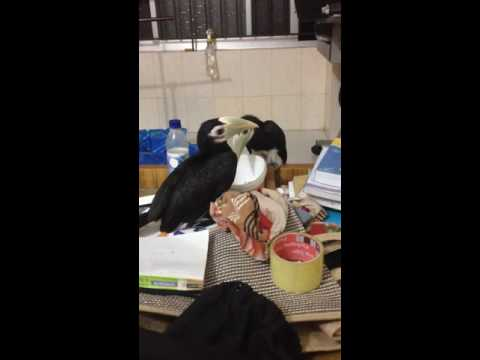 Pet baby oriental pied hornbill
