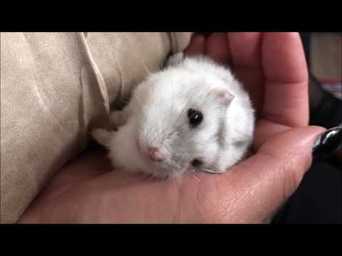 How to Tame your Dwarf Hamster