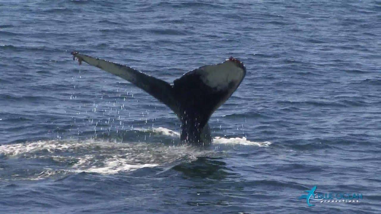 Humpback Whale Migration Qoute: Maxresdefault.jpg