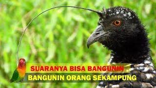 Video Suara Burung Ini Bisa BANGUNIN SAHUR Orang Sekampung download MP3, 3GP, MP4, WEBM, AVI, FLV Agustus 2018