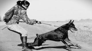 Собака тянет поводок.  Как отучить собаку тянуть поводок / Dog pulls on the Leash!
