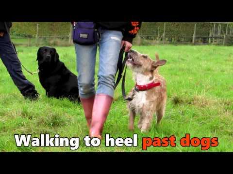 Wendy - English Bull Terrier x Patterdale - 3 Week Residential Dog Training