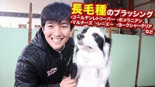 本日は以前犬のブラッシングの動画を上げましたが 今回は長毛犬編です。...