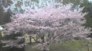 国土地理院 地図と測量の科学館 桜の季節
