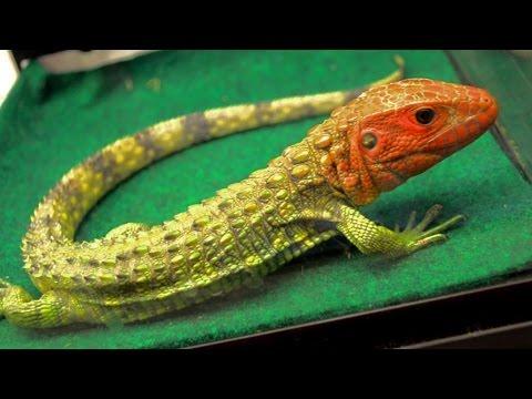 Reptile,reptiles,reptile store,reptile expo,reptile store near me,reptiles for sale,reptile gardens,reptile pets,reptile vet near me
