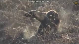 ~ ZWIERZĘTA AFRYKI :  RATEL MIODOŻERNY ( Mellivora capensis ) ~  Safari  27/10/2018
