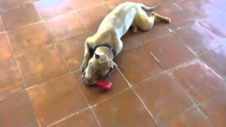 Katie Playing 11 Month Weimaraner/staffie X Looking For A Home
