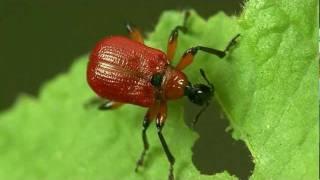 Haselblattroller Hazel Leaf-roller Weevil Apoderus coryli