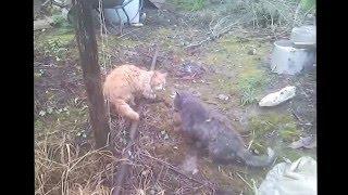 Кошачий Бои ,Кот увидел кота Прикольные Приколы